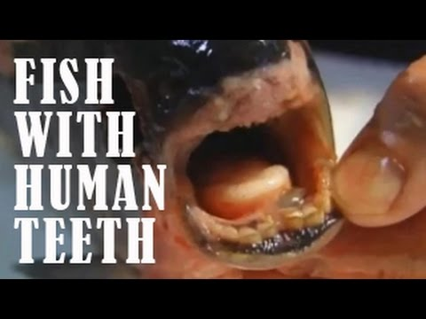 Scary creatures FISH WITH HUMAN TEETH caught on tape | Scary creatures and animals caught on tape