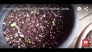 Growing Spinach/Kale in Pots, Container Gardening