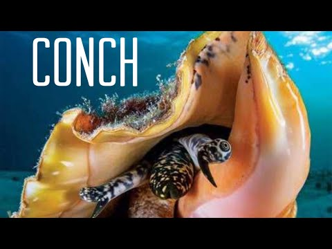 Compressor Diving In Freeport For Conch