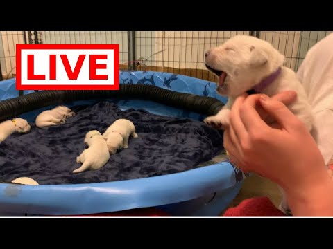 LIVE STREAM Adorable Labrador Puppies 11 Days Old