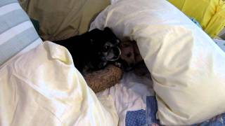 A Very Grumpy Old Dog (Pug/Boston) when her sleep is interrupted by a energetic puppy