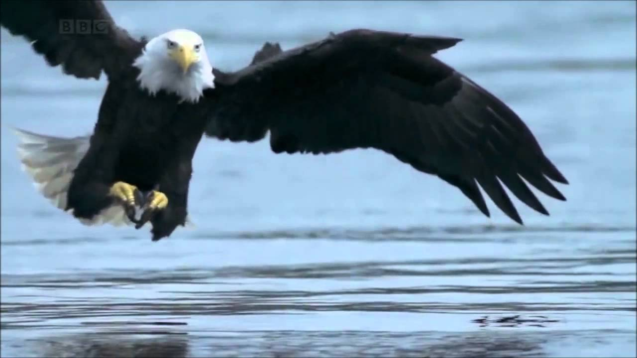 bald eagle eating fish