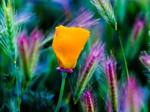 Poppy state flower of california youtube poppy state flower of california mightylinksfo