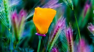 Poppy, State Flower Of California