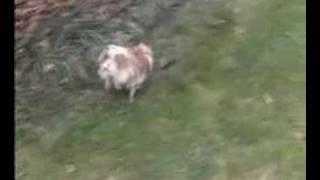 Pomrescue.com Reese' The Pomeranian Rescue