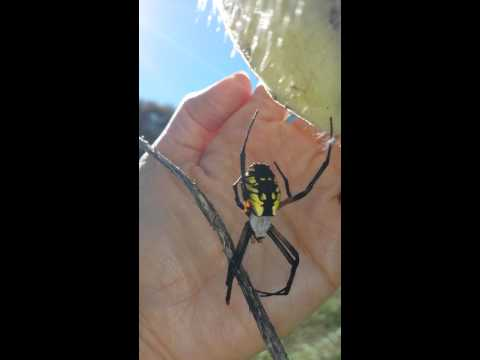 Black and yellow garden spider patuxet park
