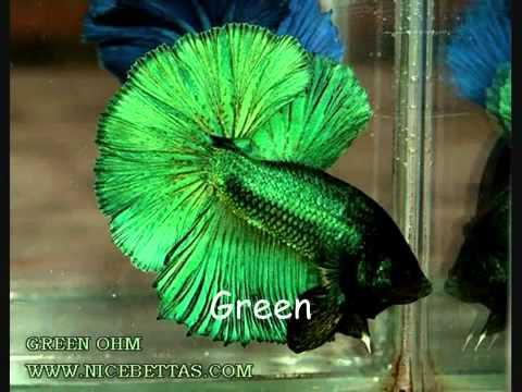 Cá Xiêm Thái