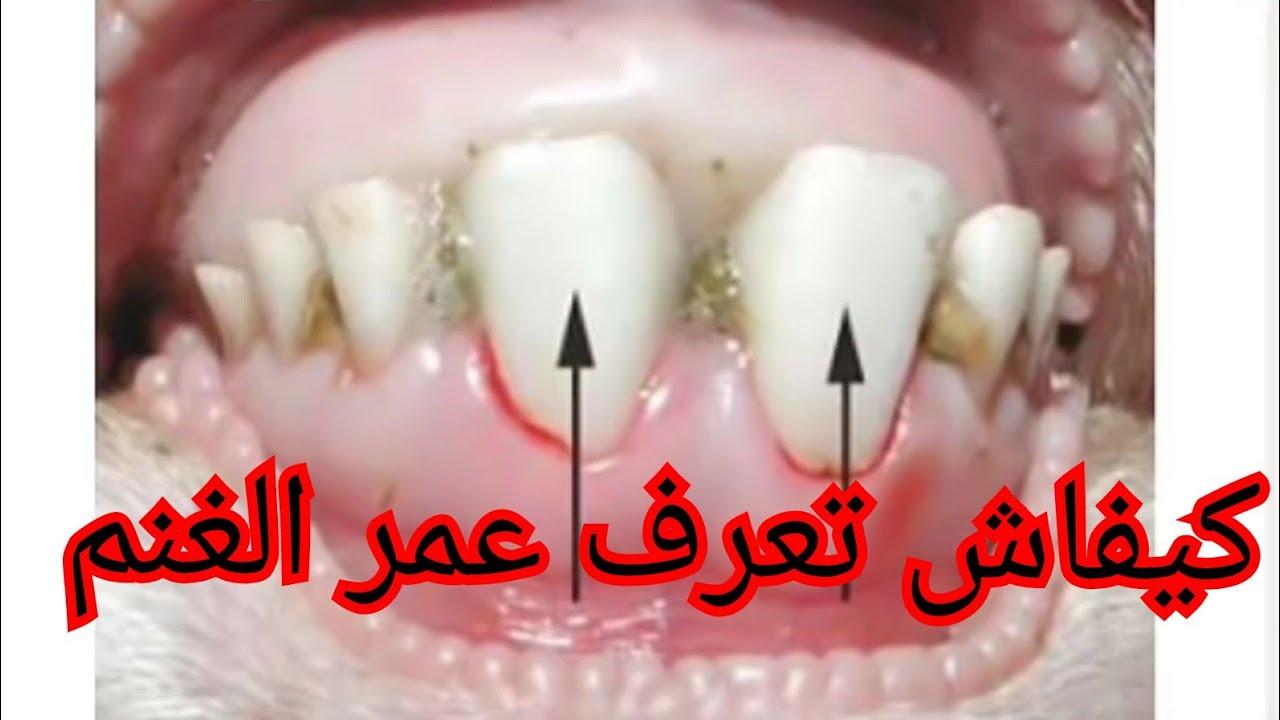 كيفاش تعرف عمر الغنم عن طريق الاسنان Youtube
