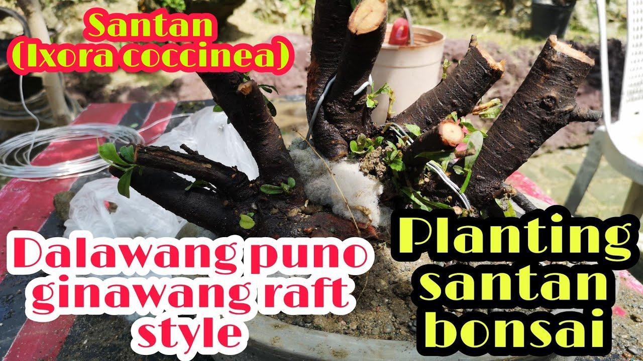How To Plant Bonsai Santan Using Icu Technique Bonsai Trees For Beginners Youtube