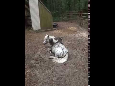 OMG ! NAUGHTY BABY HORSE HARASSING HIS MOMMY WHILE SHE RELAX'S - TYPICAL KIDS |FUNNY PET COMPILATION