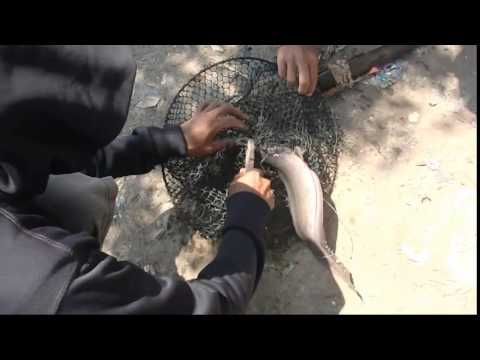 Mancing Ikan Sembilang | Video Bokep Ngentot