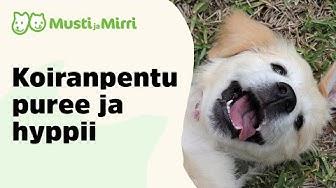 Koiranpentu puree ja hyppii