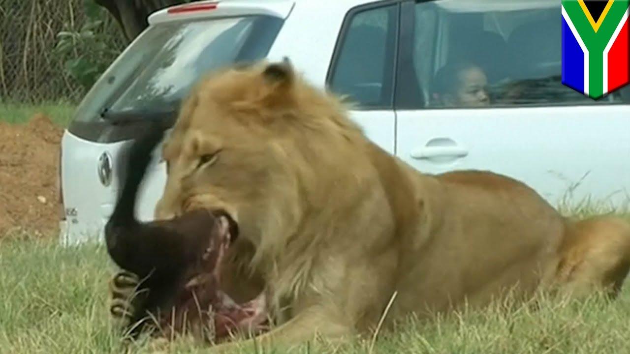turis amerika diserang singa hingga tewas di taman safari
