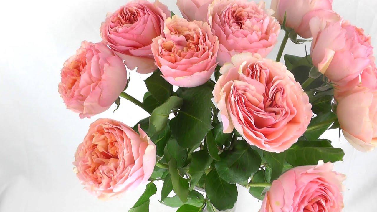 Salmanazar Garden Roses Fresh Garden Roses YouTube