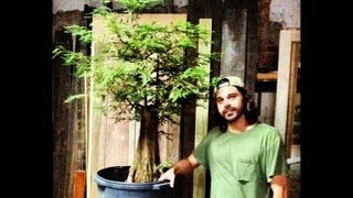 Bald Cypress Pruning Demo