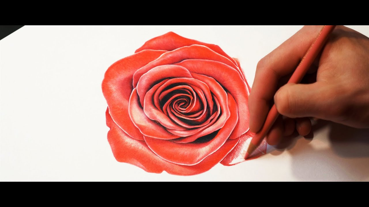 This is a graphic of Shocking Rose Drawing Color