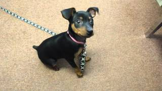 10 Week Old Miniature Pinscher Doing Tricks