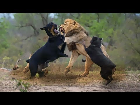 Best Videos Of Rottweiler - TOP MOMENTS