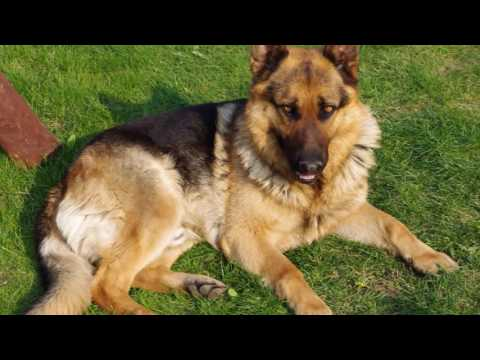 German Shepherd Dog  History, Personality, Health, Care