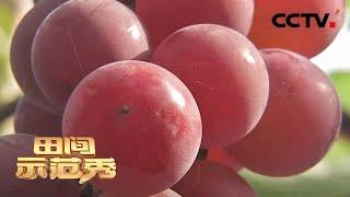 《田间示范秀》 20200413 精养香菇 巧种葡萄 CCTV农业