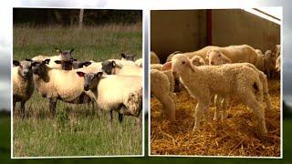 Duel de saison : entre Sud-Ouest et Centre, deux agneaux s'affrontent