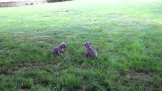 Zullas Weim Puppies At Play In Va