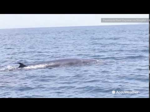 Rare Omura's whale spotted in Great Barrier Reef