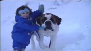 ჭკვიანი ძაღლები - სენბერნარი