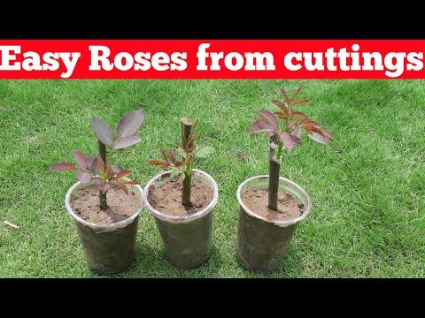How to grow Roses from cuttings with full update //अब गुलाब की कलम कभी फेल नहीं होगी