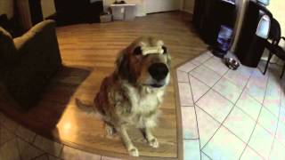 Golden Retriever - Dog Tricks