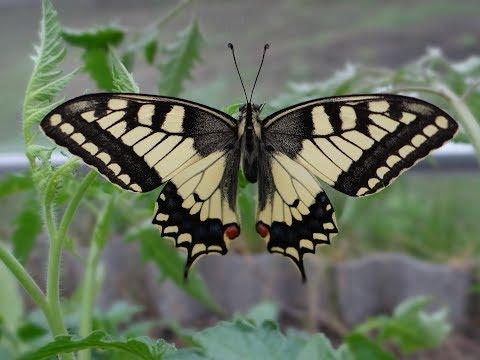 Махаон. Бабочка из Красной книги. ( Papilio Machaon )
