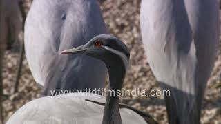Demoiselle cranes make migratory landing in Rajasthan | Thousands of birds flock to waterhole