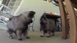 8 Week Old Keeshond Puppies