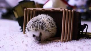 Новогодние ежики — смотрите забавные видео ролики с животными на сайте Rutube