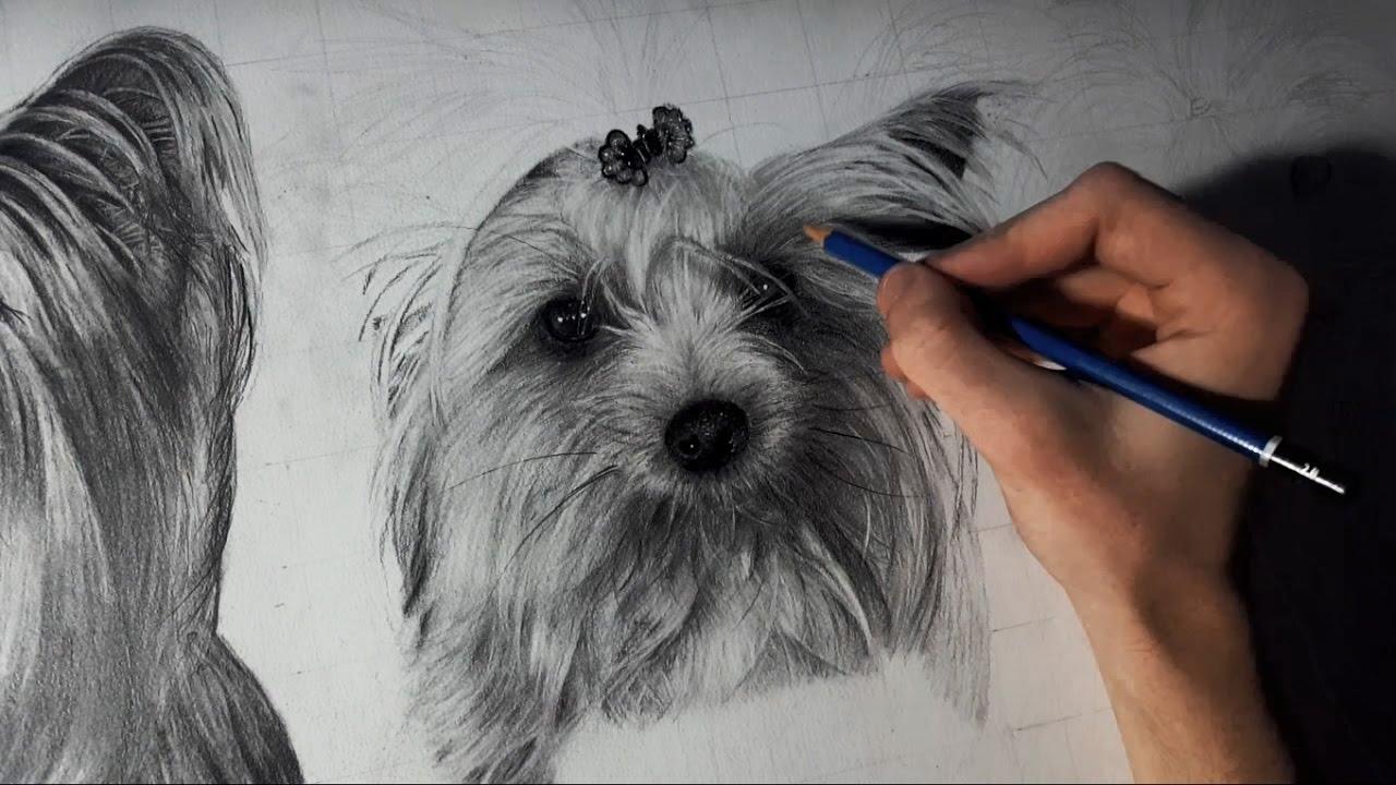 Dibujando Perros Yorkshire Terrier