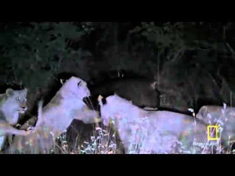 Singa Kuda Nil 10 Kalah Melawan Youtube Gambar