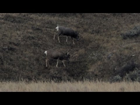 MULE DEER HUNT With A-Aron Alberta