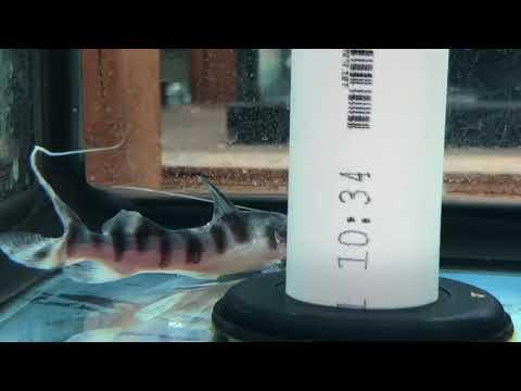 Merodontotus Tigrinus Catfish (Zebra Shovelnose Cat)