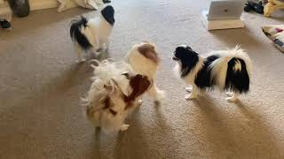 The Japanese Chin dogs having fun | dogs
