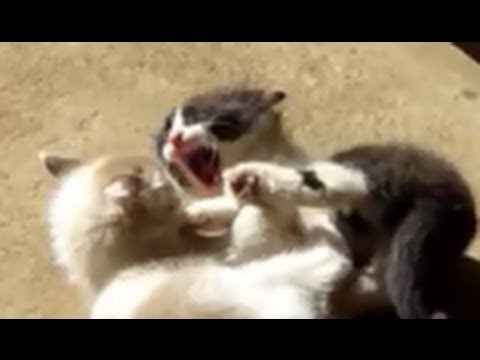 Ultimate kitten fight