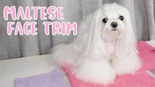 Maltese Dog Grooming: Face Trim (modified Korean cut)