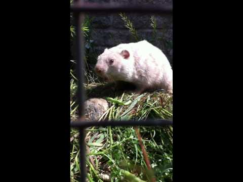 Wiarton Willie Eating Beans