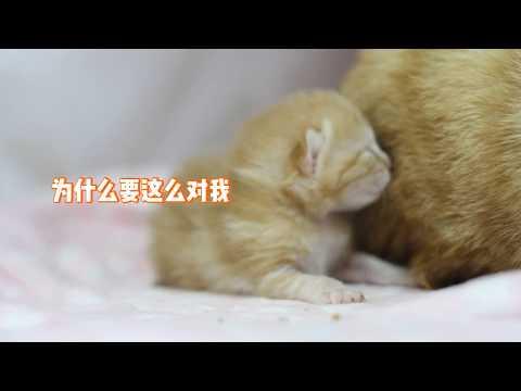 小奶猫被猫妈拿来当枕头,挣脱后又被一脚掀翻,大概不是亲生的…