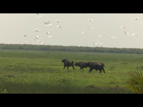 African Cape Buffalo Hunt in Mozambique