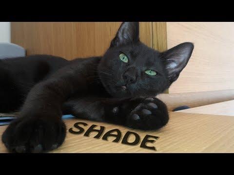 Meet Shade the russian black