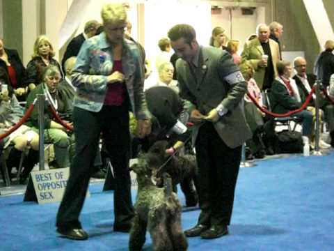 "AKC/Eucanuba Best of Breed Kerry Blue Terrier, 2008-""BEAU"""