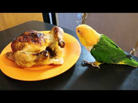 White Bellied Caique eating chicken