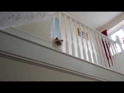 Daisy the Birman Cat 'Meows' at Her Toy