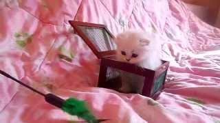 Алиментный котёнок! Хайленд-фолд серебристая шиншилла!