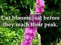 How to Grow Foxglove Plants at Home